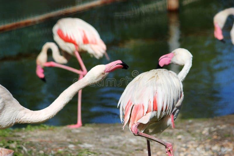 Macro cor-de-rosa do flamingo, exterior imagem de stock