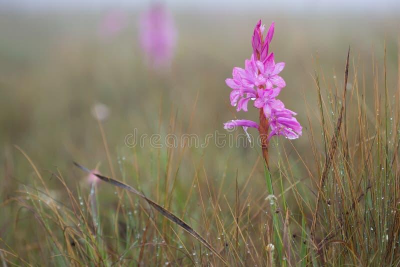 Macro cor-de-rosa molhado pequeno da flor na névoa do amanhecer imagens de stock