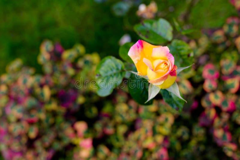 Macro cor-de-rosa pequeno da cabeça da rosa do amarelo Tiro da vista superior fotografia de stock royalty free
