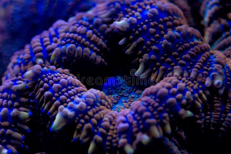Macro coral duro na luz do mergulho da noite imagem de stock royalty free