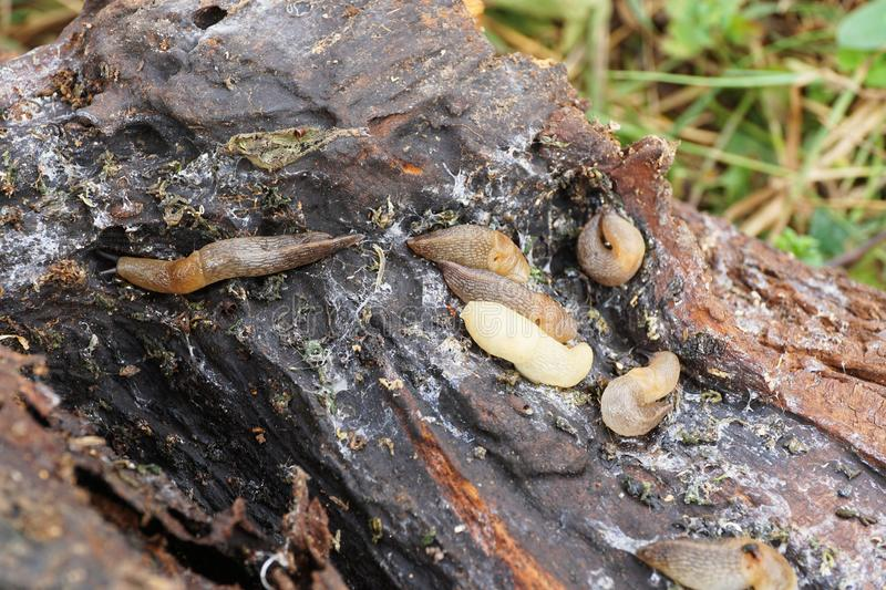 Macro creeping colony of Caucasian mollusk slug forest Arion ate stock photography