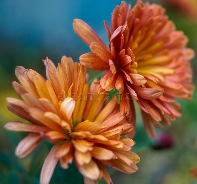 Macro crisantemi ottimisti dell'arancia della foto fotografia stock