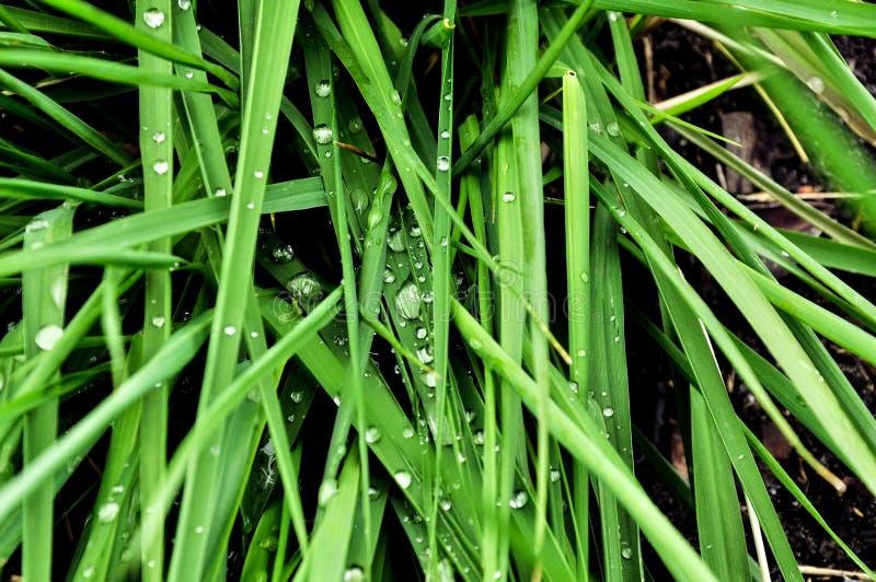 macro cubierta de rocio de la hierba Alto-res foto de archivo libre de regalías