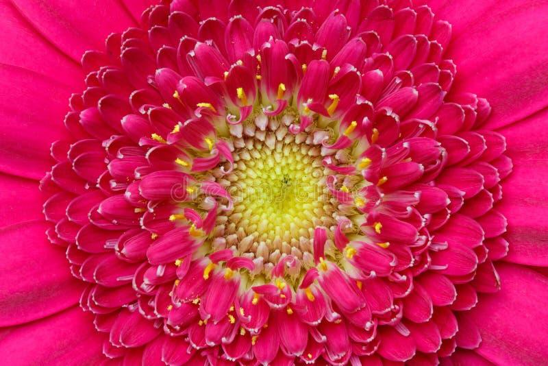 Macro détail d'une fleur rose de gerber photographie stock libre de droits