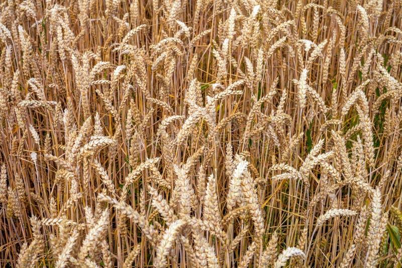 Macro détail de blés dans le domaine photographie stock