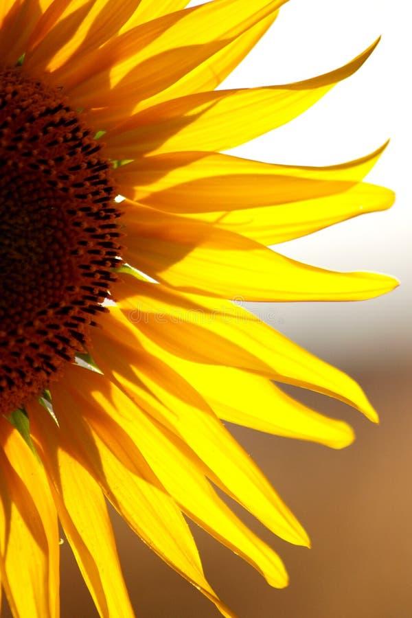 Macro détail de demi tournesol, dans un coucher du soleil chaud d'été photos stock