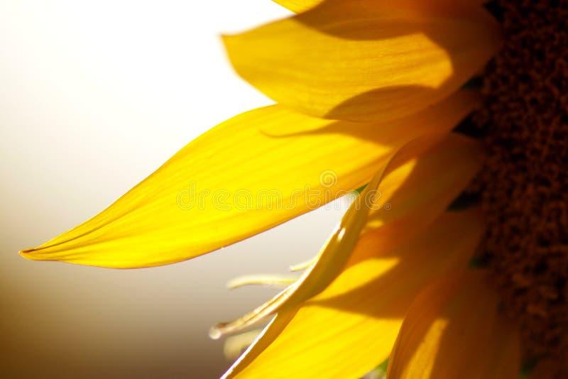 Macro détail de tournesol, dans un coucher du soleil chaud d'été photographie stock libre de droits