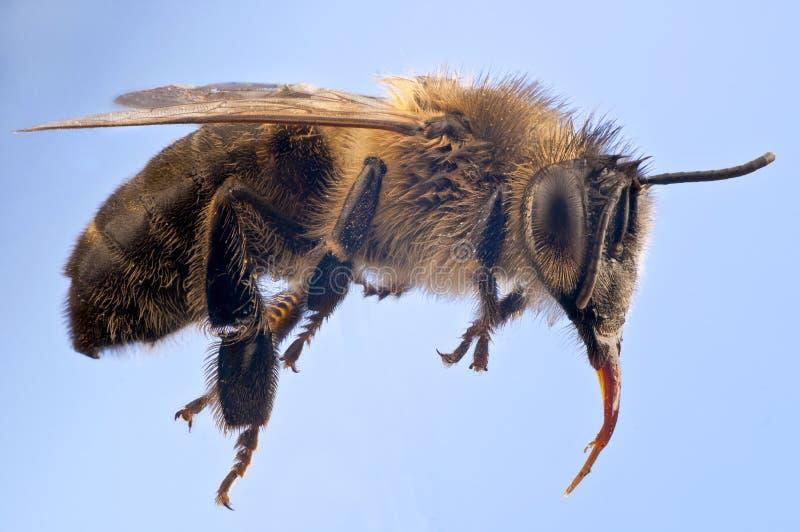Macro détaillé d'une abeille de miel image stock