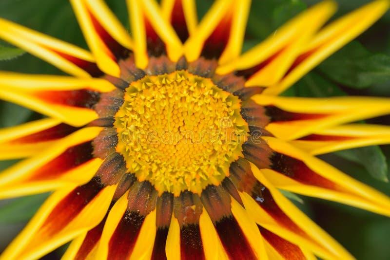 Macro détails de fleur jaune de Rudbeckia image libre de droits