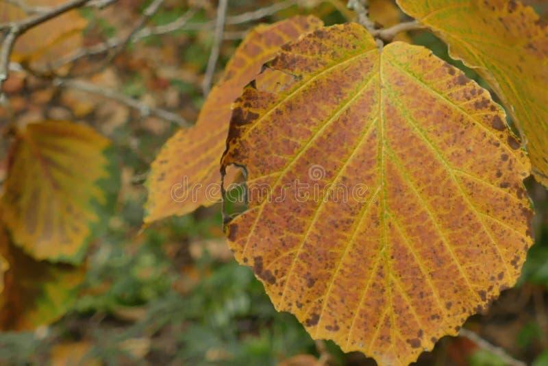 Macro détails des feuilles d'automne orangées photos libres de droits