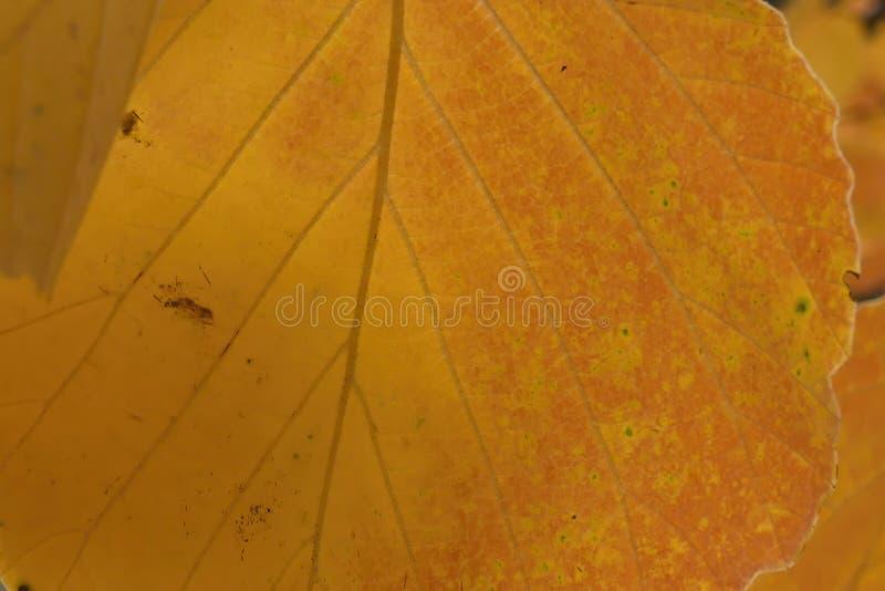 Macro détails des feuilles d'automne orangées image libre de droits