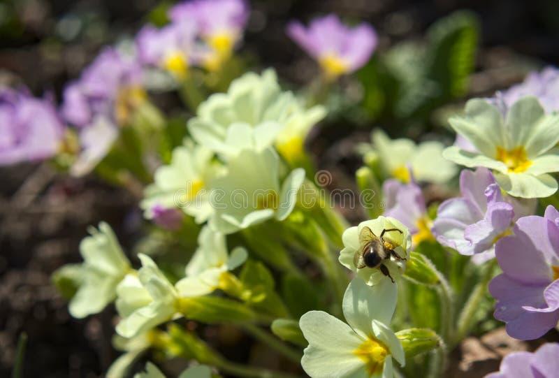 Macro d'abeille de miel images libres de droits
