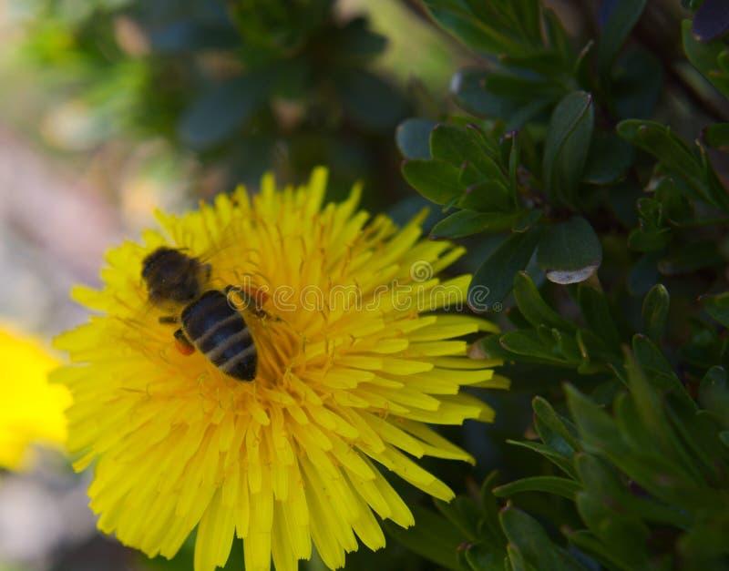 Macro d'abeille de miel photo stock
