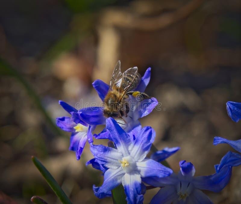 Macro d'abeille de miel photographie stock libre de droits