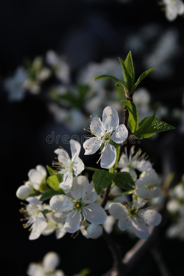 macro d'appletree photographie stock libre de droits