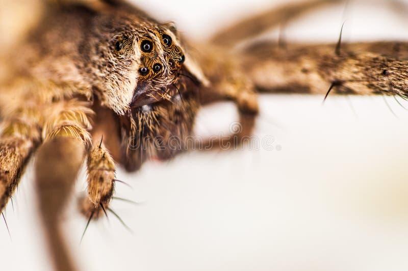 Macro d'araignée photo libre de droits