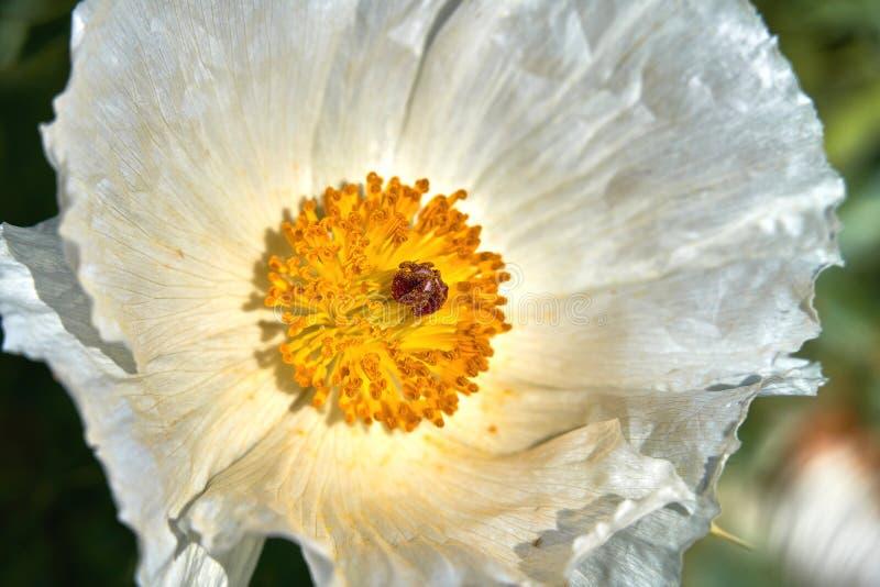Macro d'isolement de bel albiflora ?pineux blanc Texas Bull Nettle de Poppy Argemone Fin vers le haut photo libre de droits