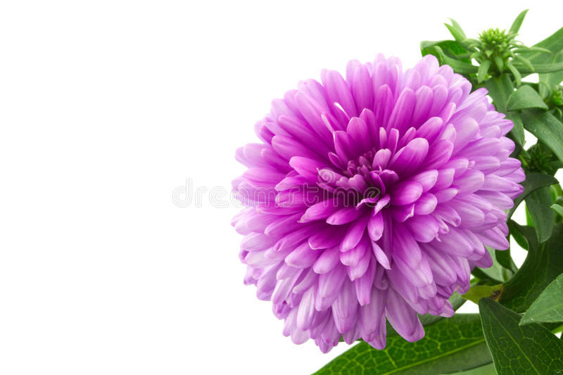 Macro d'un aster rose photo stock