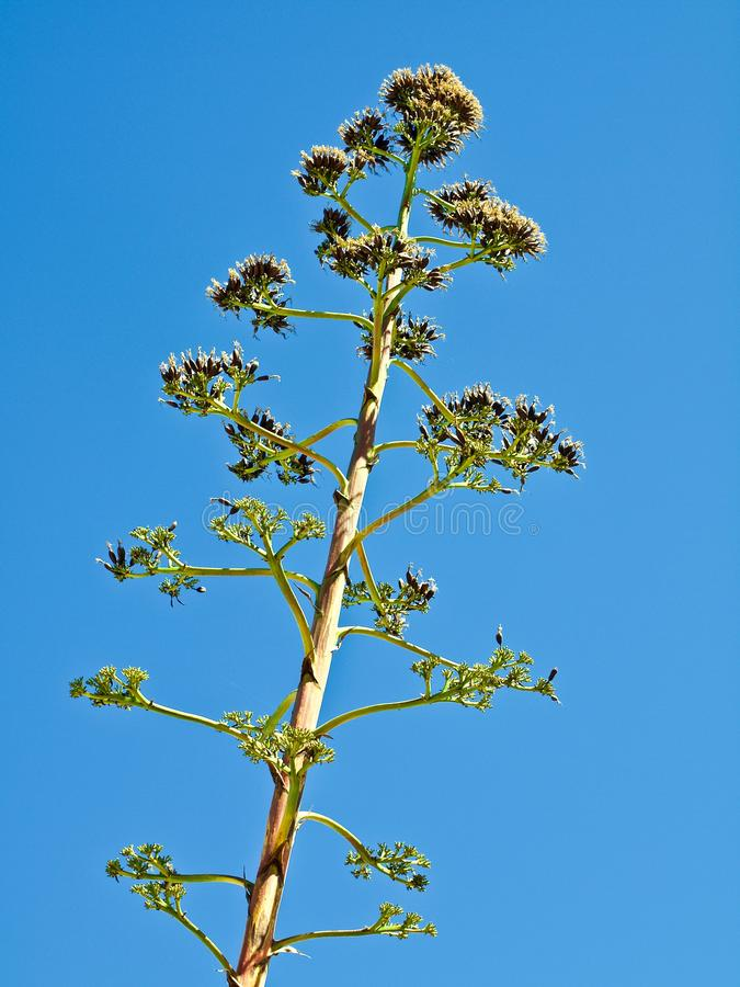 Macro d'un cactus énorme d'agave photographie stock libre de droits