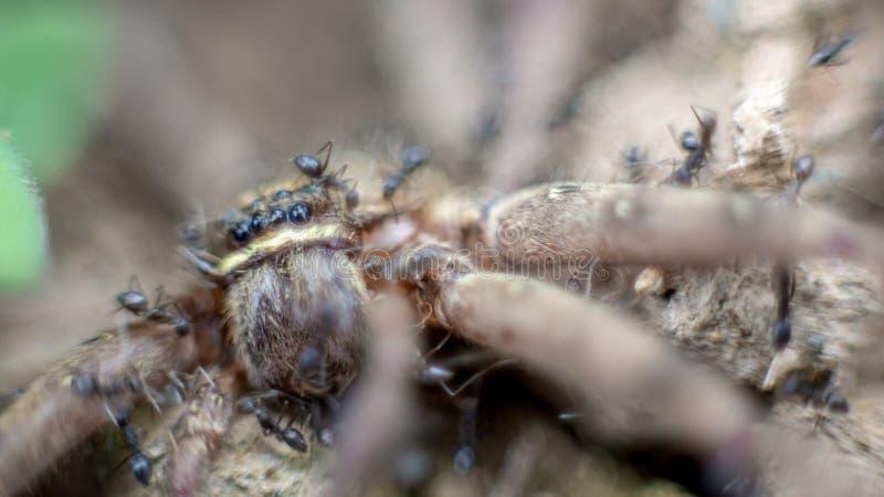 Macro d'un groupe de fourmis attaquant et mangeant une araignée de crabe géant photographie stock