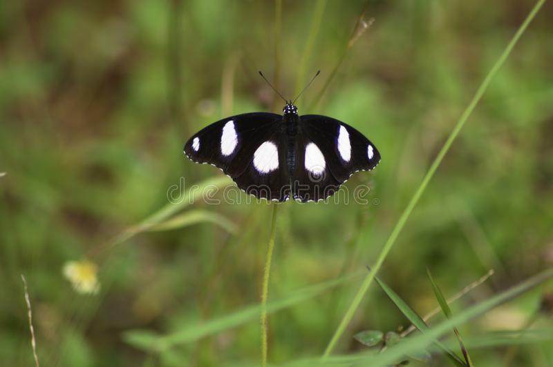 Macro d'un papillon prolongeant ses ailes photographie stock libre de droits