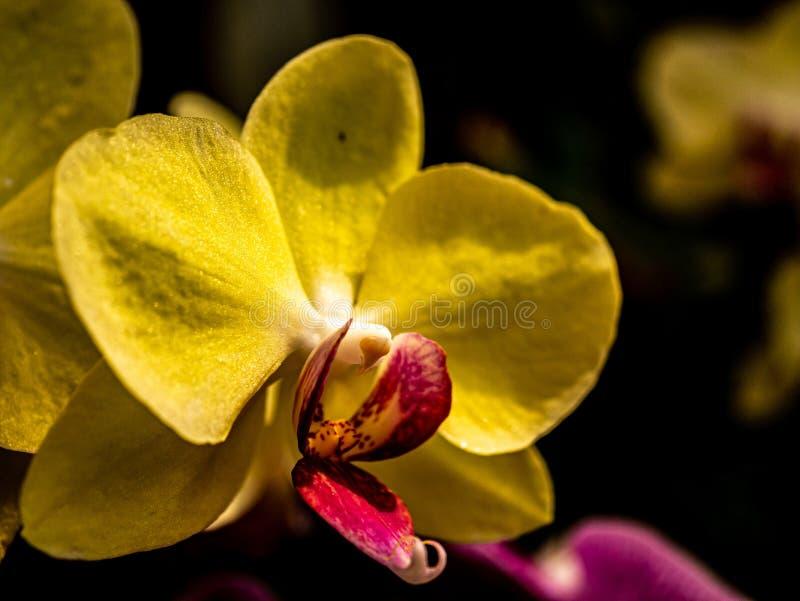 Macro d'une grande orchidée jaune photographie stock libre de droits