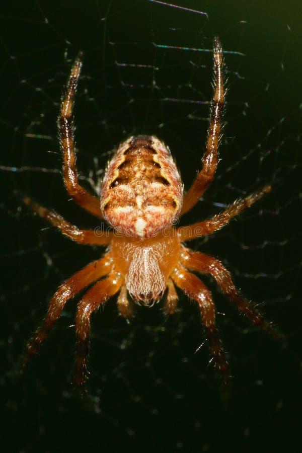 Macro d'une jeune araignée d'une croix du genre accrocher d'Araneus image libre de droits