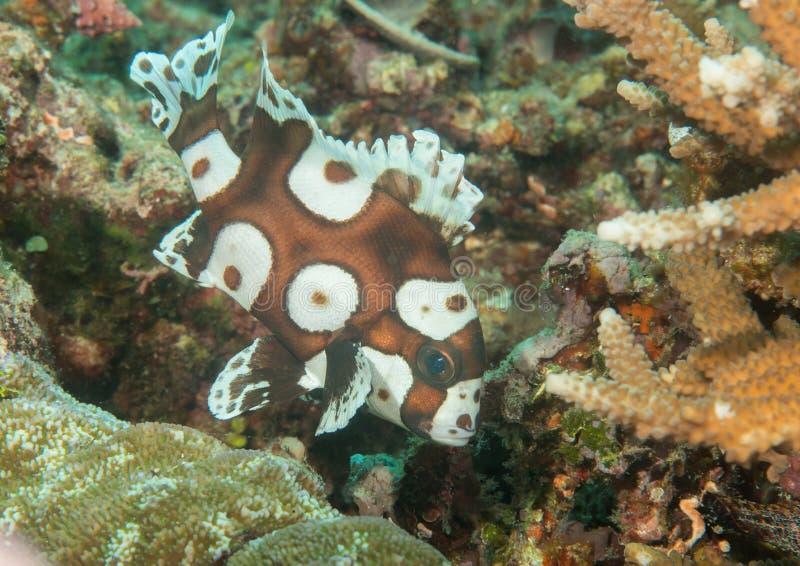 Macro d'une natation juvénile de sweetlips de harlequin au-dessus des coraux de Bali image stock