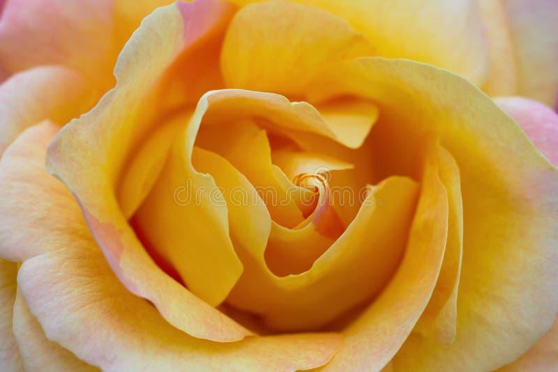 macro d'une rose jaune photographie stock
