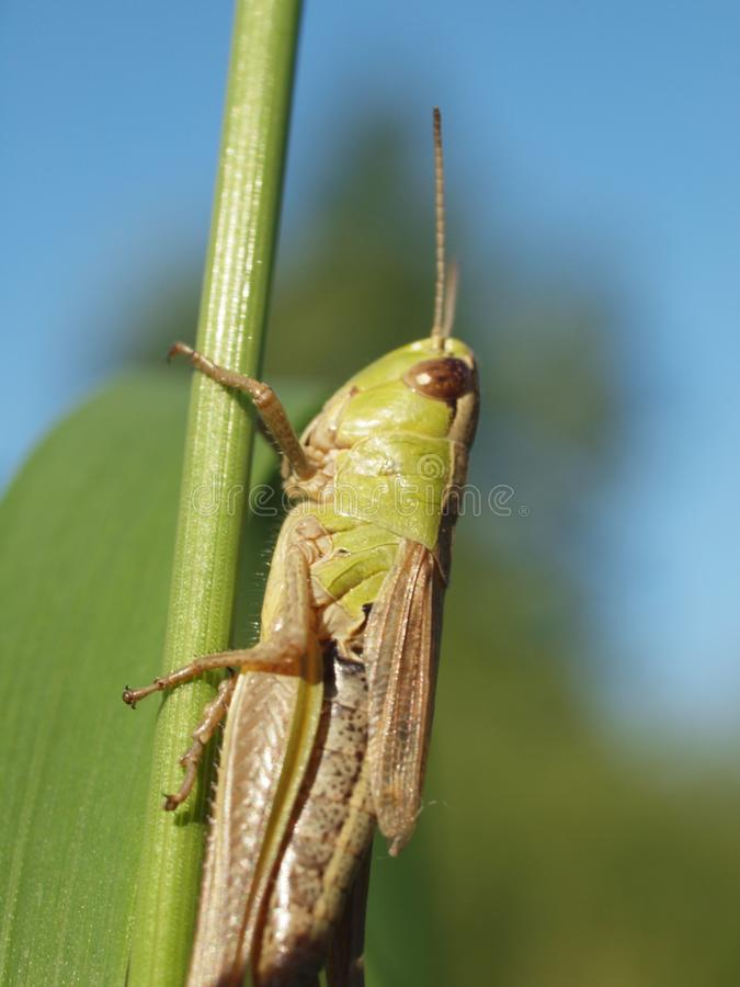 Macro d'une sauterelle verte équilibrant sur une lame d'herbe image stock