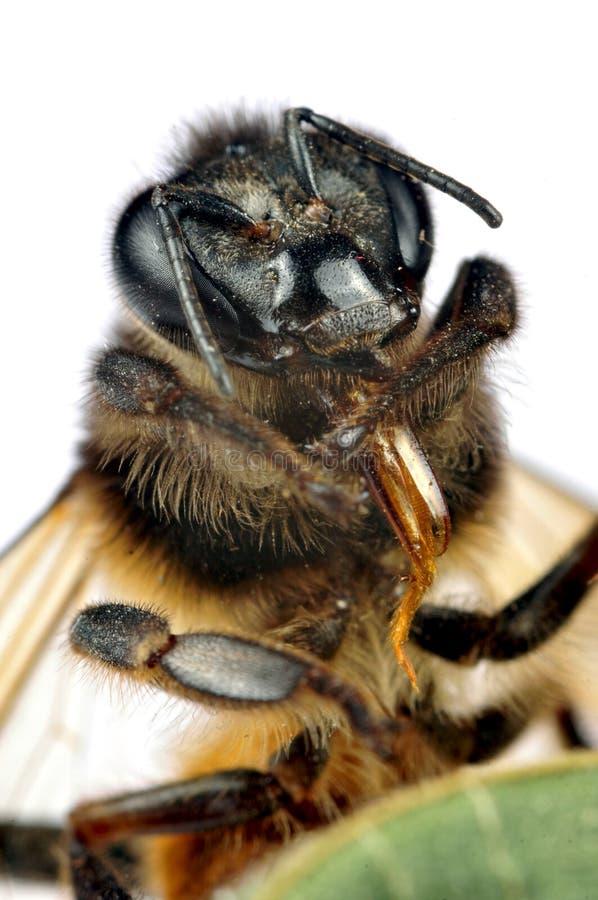 Macro da abelha do mel fotos de stock