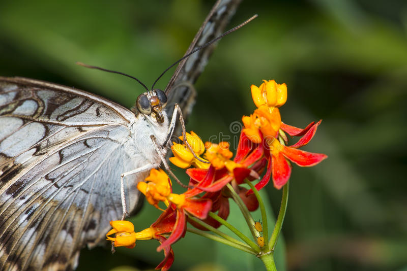 Macro da borboleta da tosquiadeira imagens de stock royalty free