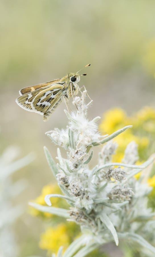 Macro da borboleta quadriculado do capitão empoleirada na planta imagens de stock