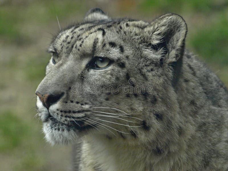 Macro da cabeça de um leopardo de neve fotos de stock royalty free