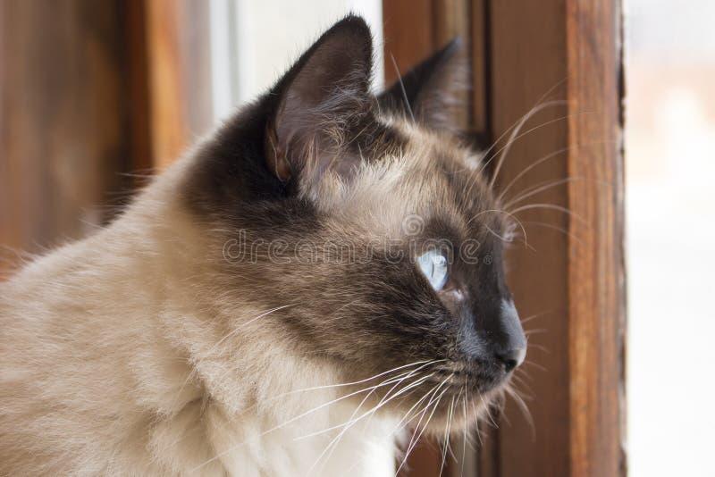 Macro da cara do gato siamese bonito com os olhos azuis que olham a janela de madeira rústica atentamente exterior fotos de stock