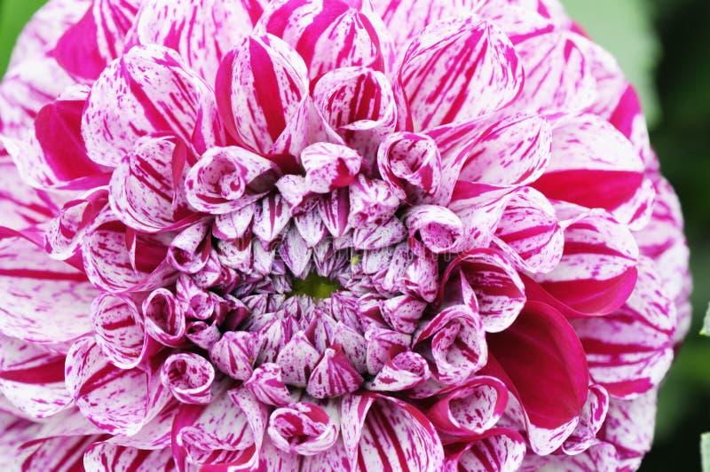 Macro da dália vermelha branca no canteiro de flores summertime fotografia de stock