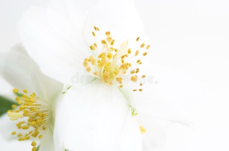Macro da flor branca contra o fundo branco brilhante fotos de stock royalty free