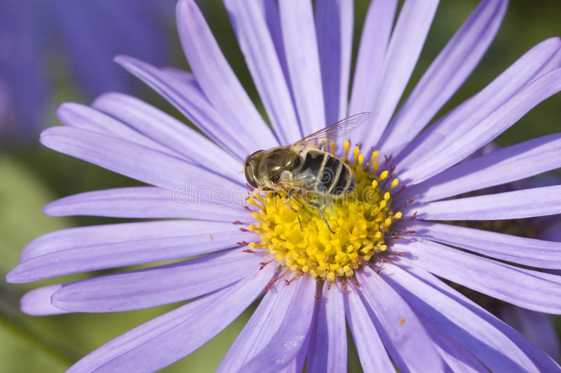 Macro da flor da abelha imagem de stock royalty free