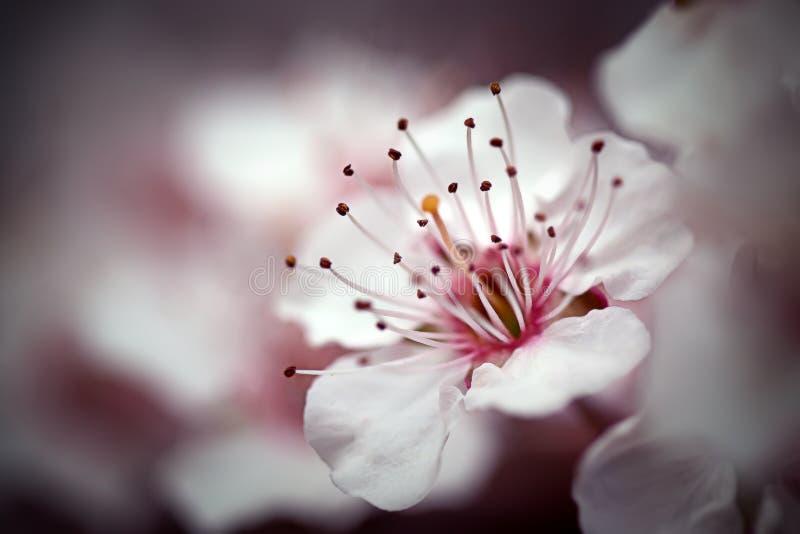 Macro da flor de cereja mim fotografia de stock