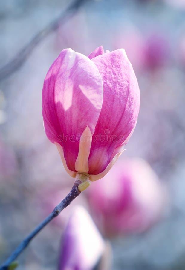 Macro da flor de florescência do magnolia fotografia de stock royalty free