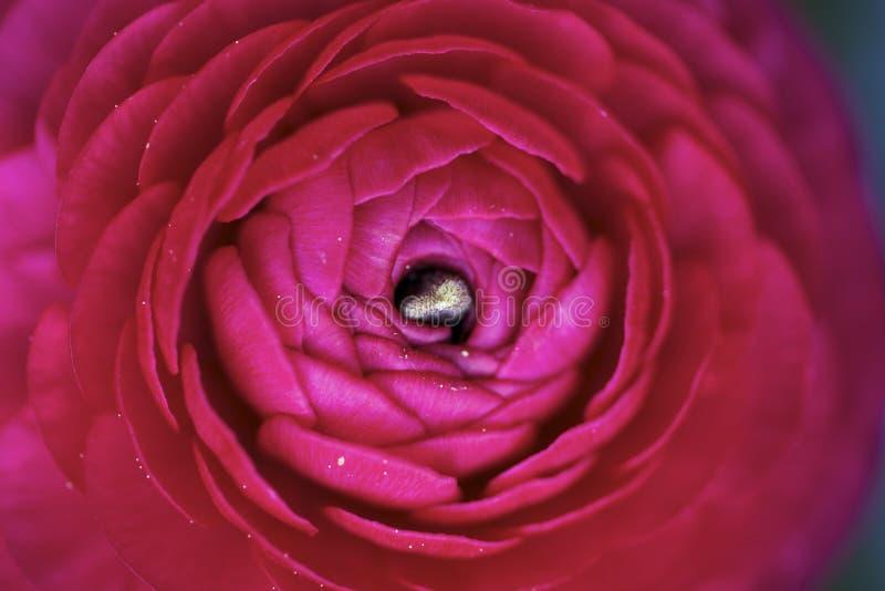 Macro da flor do botão de ouro imagem de stock royalty free