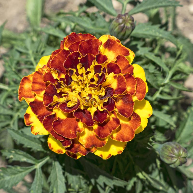 Macro da flor do cravo-de-defunto do anão amarelo e vermelho foto de stock