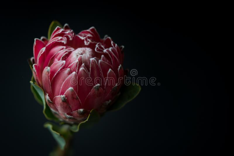 Macro da flor do Protea da rainha no fundo preto imagens de stock royalty free