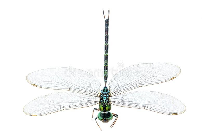 Macro da libélula isolado imagem de stock