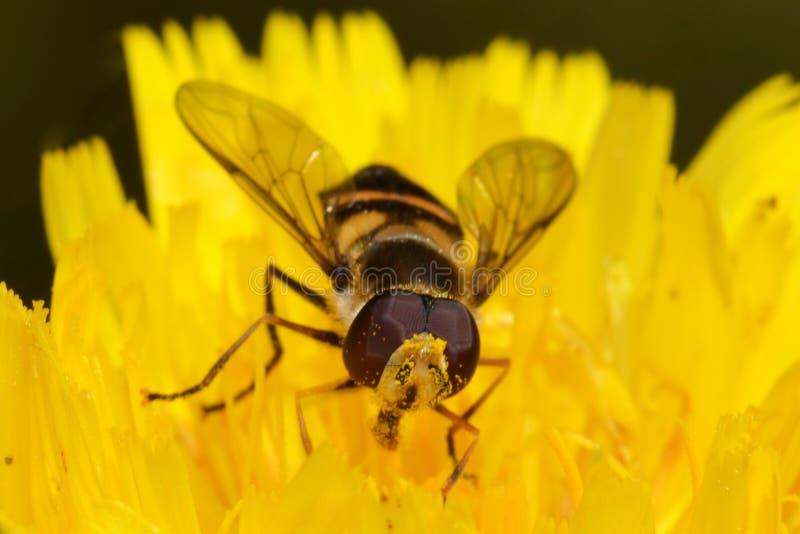 Macro da mosca do pairo na flor amarela fotografia de stock