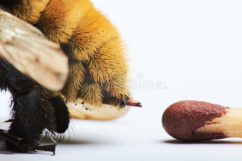 Macro da picada de abelha imagem de stock