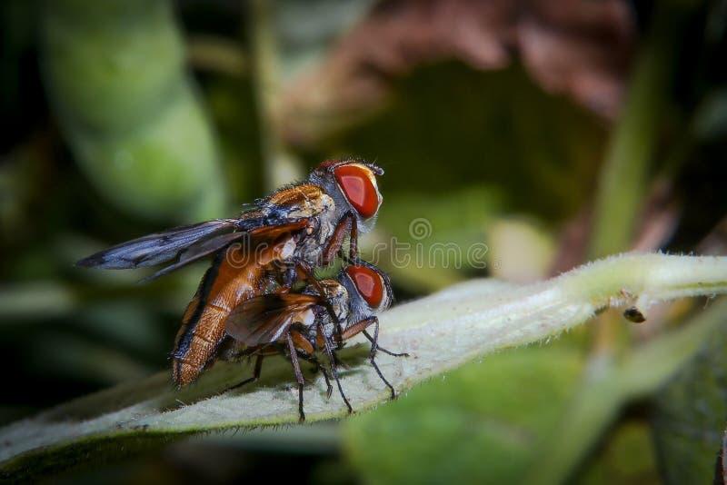 Macro da reprodução das moscas na folha fotos de stock