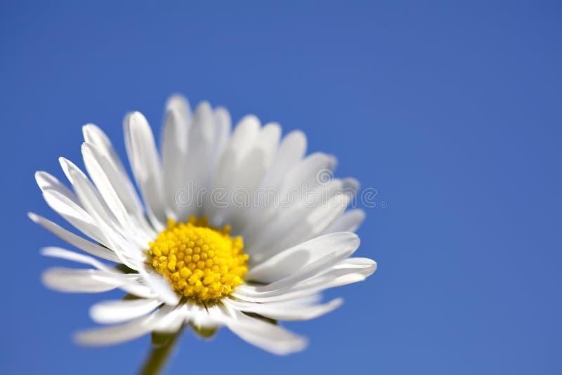 Macro Daisy on Blue. Close-up macro photo of single daisy on blue background royalty free stock photos