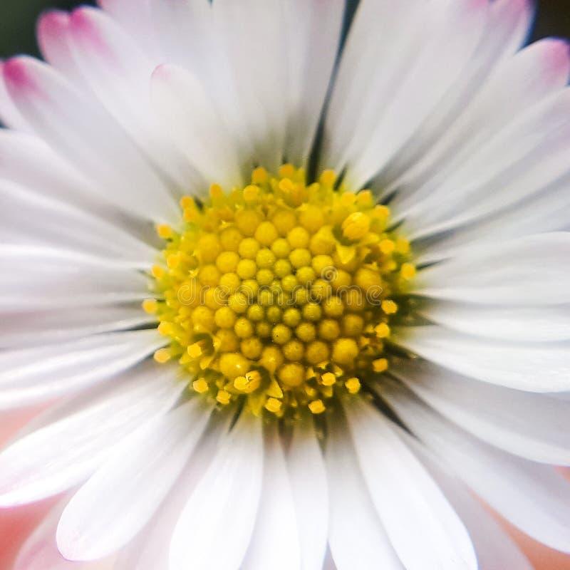 Macro daisy flower. Details of yellow daisy. Plant stock photos
