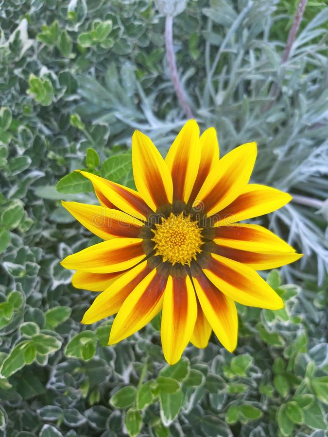 Macro dalhia yellow flower blossom. stock photo